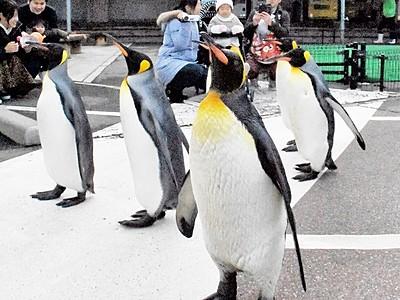 オウサマペンギン 寒風の中、堂々と屋外散歩 松島水族館