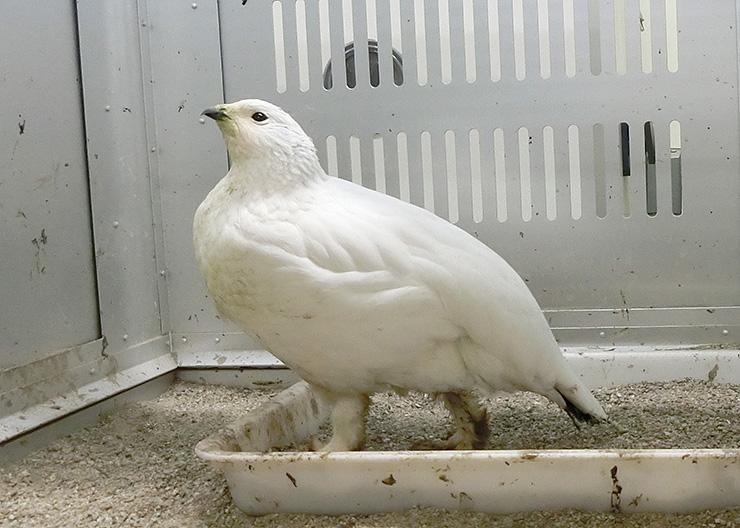 ふ化から半年を迎えた雌のニホンライチョウ(富山市ファミリーパーク提供)