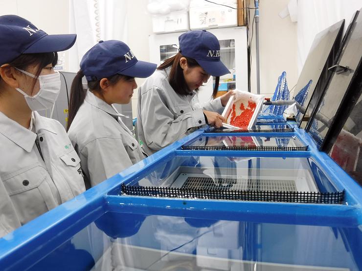 サクラマスの卵を水槽内に入れる生徒たち