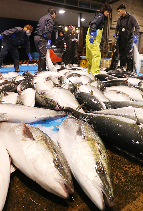 水揚げされたブリ。漁業関係者から2年連続の不漁を危ぶむ声が上がっている=1日、氷見魚市場