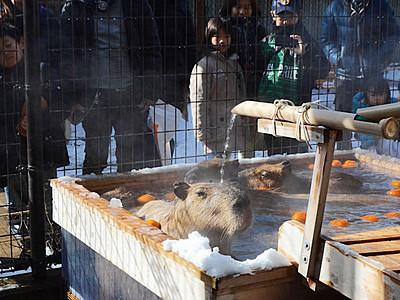 カピバラも「初湯」 須坂市動物園新春イベント