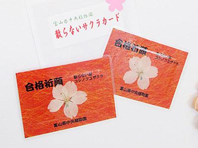 受験生に「散らない桜カード」 中央植物園12日配布