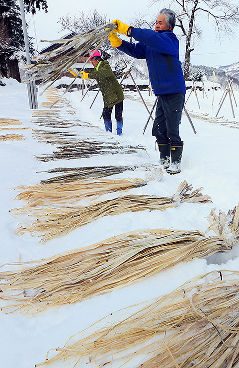 雪の上に広げられたコウゾの束=南砺市東中江