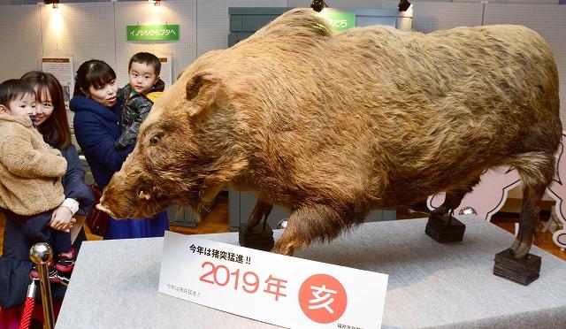 イノシシの剥製を眺める親子連れ=福井市自然史博物館、福井県福井市