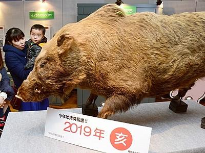 「亥」企画展、剥製や骨格標本 福井市自然史博物館