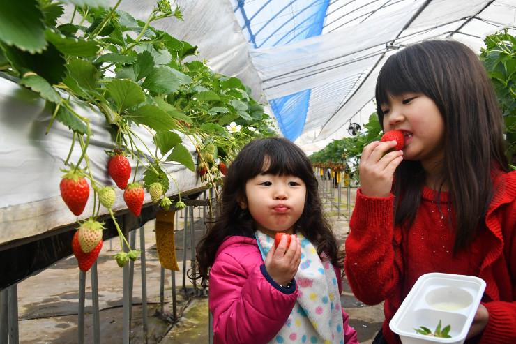 真っ赤に色づいたイチゴを頬張る子どもら