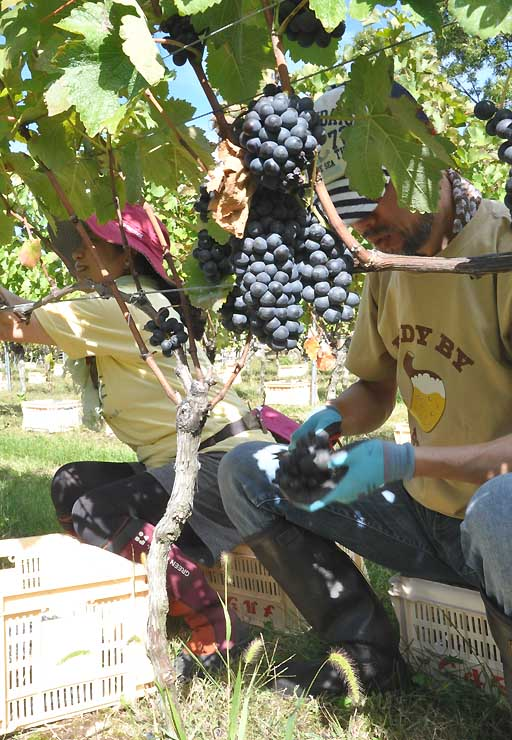 椀子ヴィンヤードで昨年秋開かれたブドウの収穫体験