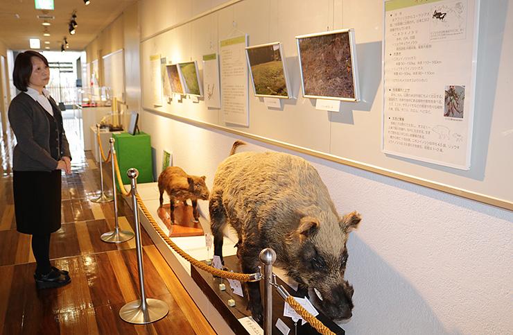 展示されたイノシシに関する標本や写真
