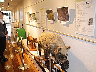 えとのイノシシの生態紹介 富山市科学博物館