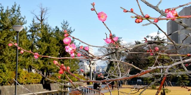 青空に映える紅梅の赤い花やピンクのつぼみ=1月22日、福井県福井市中央公園