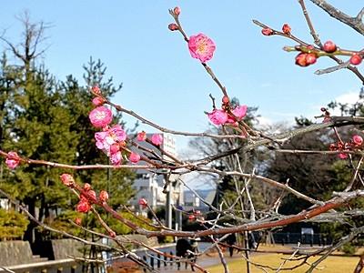 青空に映える華やか紅梅 福井市中央公園で開花