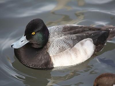 瓢湖に珍鳥コスズガモ 北米から南下中迷ったか 阿賀野