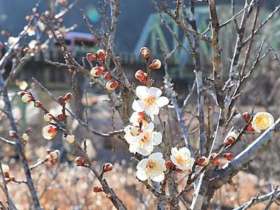 竜峡小梅、春待ちかねて 天龍で例年より早い開花