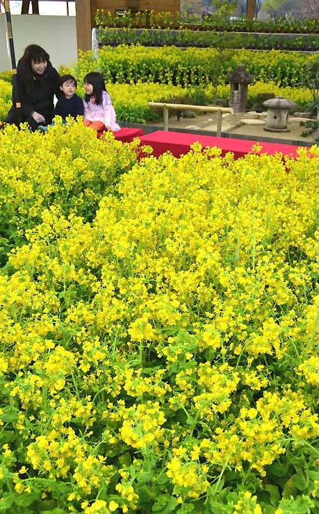 国営アルプスあづみの公園を彩る1万5千本の菜の花。奥は今年初登場の茶庭