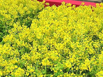 和の空間に菜の花1万5000本 安曇野の国営公園