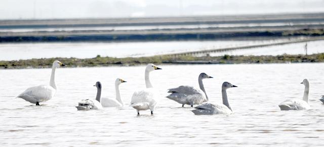水田でのんびり羽を休めるコハクチョウ=1月30日、福井県あわら市中浜