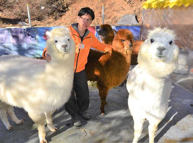 毛並みにれたり、餌の牧草を与えたりできる「横谷峡アルパカ広場」