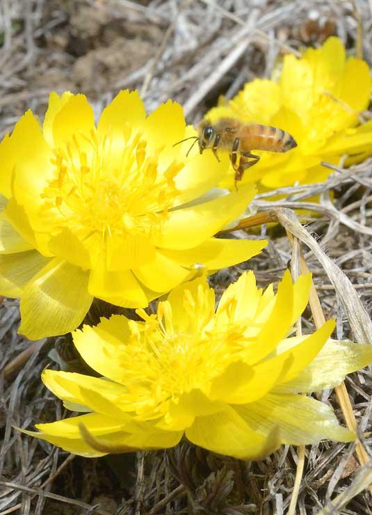 黄金色に輝くフクジュソウ。ミツバチが飛んできた=諏訪市湖南