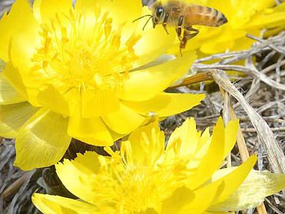 ミツバチ舞う福寿草園 諏訪に「春が来た」