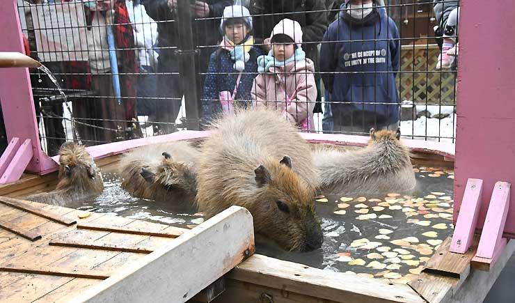 ハート形に切った餌が入った湯に漬かるカピバラを見る子どもたち