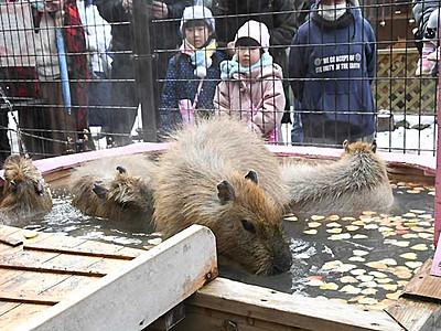 カピバラ、一足早く「バレンタイン」 須坂市動物園