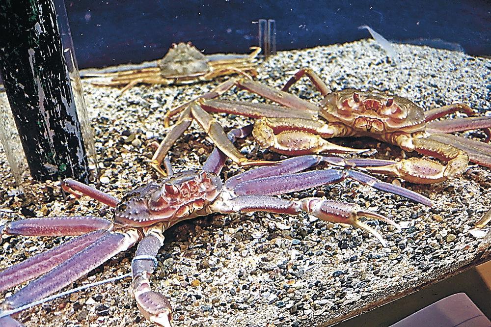 展示が始まった紫色のズワイガニ=七尾市ののとじま水族館