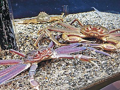 のとじま水族館 紫色のズワイガニ初展示