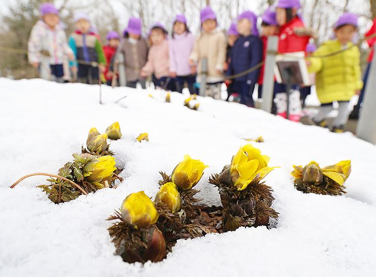 雪の中から顔をのぞかせたフクジュソウの花=県中央植物園