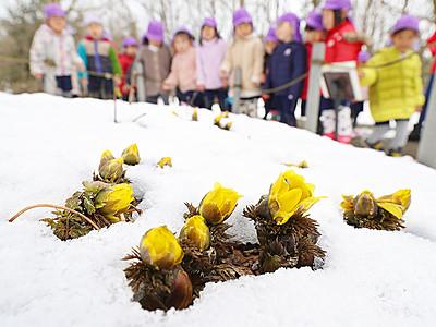 春見つけた 県中央植物園でフクジュソウ開花