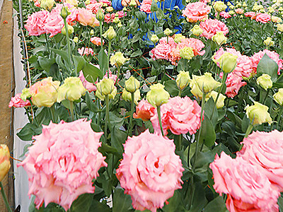 冬場も花盛り 婦中でトルコギキョウ出荷