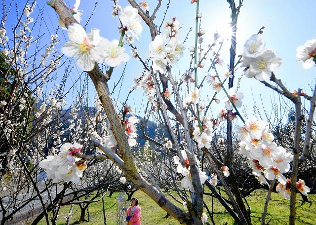 青空の下、見頃を迎えている梅の花=2月25日、福井県若狭町遊子