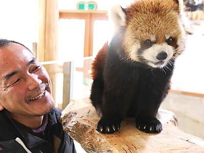 レッサーパンダ「お散歩タイム」終了へ 長野・茶臼山動物園