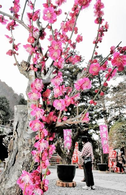 ピンクや白色の花が咲いた梅が並ぶ盆梅展=2月26日、福井県若狭町三方の三方石観世音