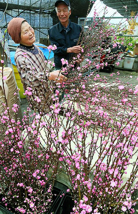 春の雰囲気を醸し出しているハナモモの切り花=小矢部市松尾