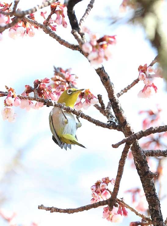 開花が進むカンザクラの枝に止まるメジロ。春と戯れているかのように見える=天龍村平岡