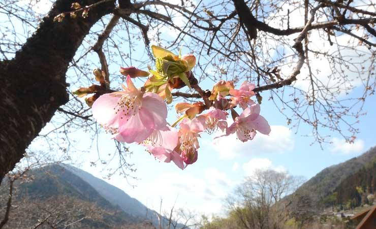 遠山川沿いで咲き始めた河津桜=1日、飯田市南信濃