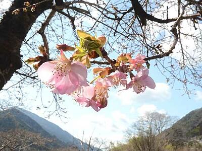 河津桜開花で3月幕開け 飯田・南信濃の遠山川沿い
