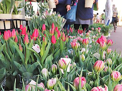 チューリップ祭り 伊那の春を彩り