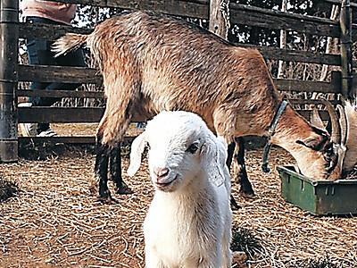 のと里山海道 SAにヤギの赤ちゃん