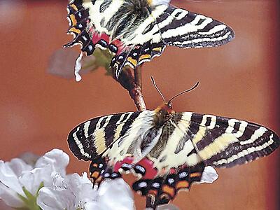 ギフチョウ、春告げる舞 白山市の県ふれあい昆虫館
