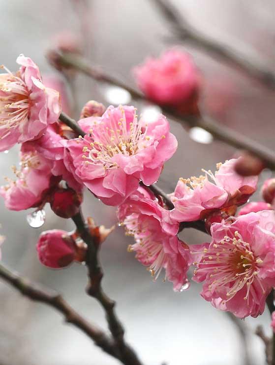 ほころび始めた紅梅。水滴をまとい、鮮やかさを増していた=長野市の長野運動公園