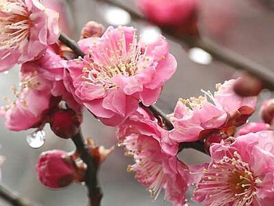 香り甘く、紅梅しっとりと 長野運動公園