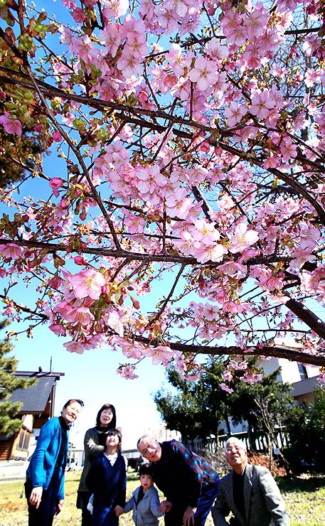 見頃を迎え、青空に映える河津桜=速星神社
