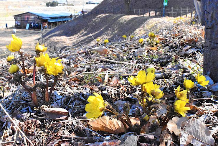 日当たりの良い斜面で開花し始めたフクジュソウ=9日、松本市