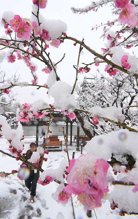 雪化粧した松本城公園の紅梅=11日