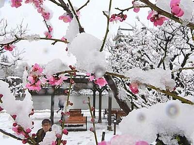 松本城、紅梅が雪化粧 黒・白・紅のコントラスト