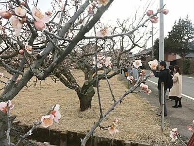春の香り探し「かめだ梅まつり」16日から 新潟市江南区