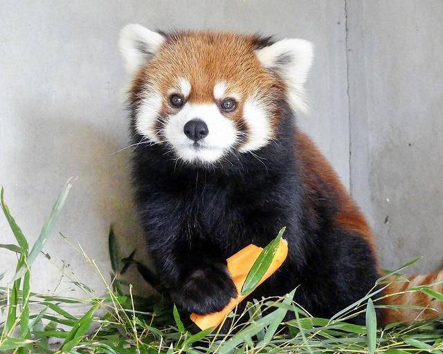 5年ぶりに福井県鯖江市に帰ってきたミンファ=福井県鯖江市西山動物園