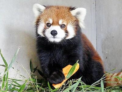 ミンファと5年ぶり再会 鯖江市西山動物園19日公開
