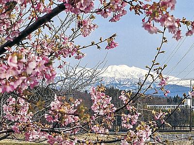 カワヅザクラ 木場潟から桜越しに白い峰